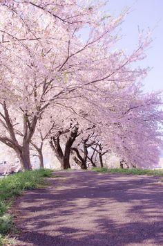 シングルマザーになった年の桜